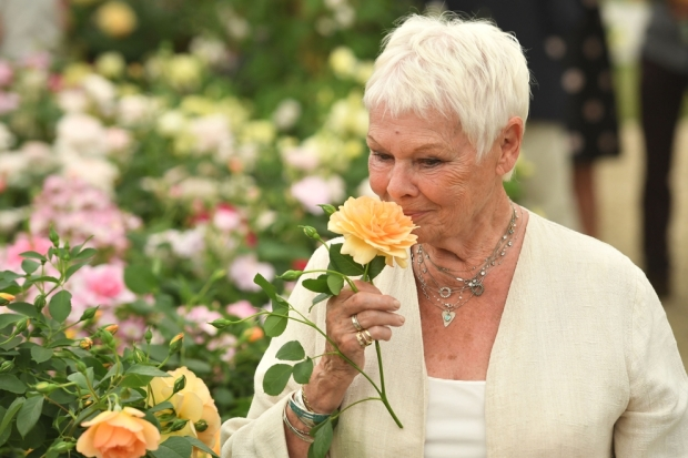 judy dench rose