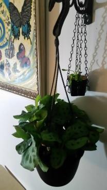 phoebe hanging plant