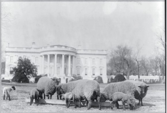 Sheep_South_Lawn_1923