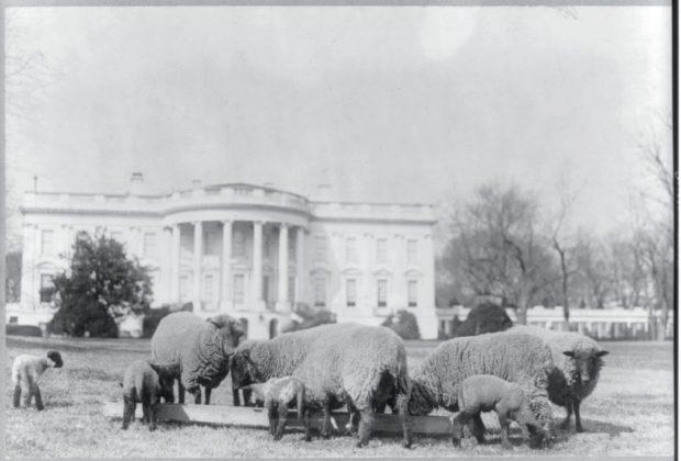 Sheep_South_Lawn_1923